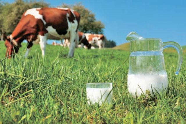 Per la vacca, il latte e il mungitore